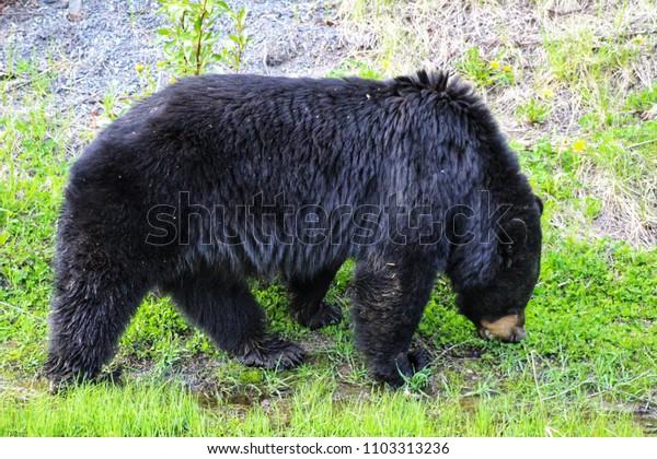 Black bear close up as it grazes in grass