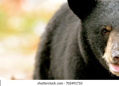 Black Bear Closeup Face Muskoka Ontario
