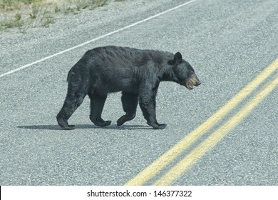 A black bear crossing the road in British Columbia