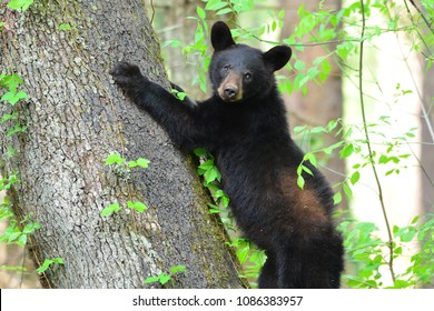 Black bear Cub in Cades Coves Smoky Mountain National Park, Tennessee