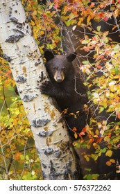 A black bear cub climbs an aspen tree in Grand Teton National Park, Wyoming.