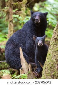 A black bear cub (coy) takes a break from climbing on a tree to investigate the photographer,  in the rainforest with mother close by