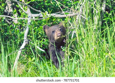 Black Bear Cub at the Edge of the Forest