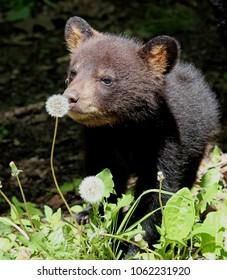 Black bear cub smelling a dandelion flower head