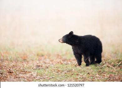 Black bear cub in Smoky Mountain National Park
