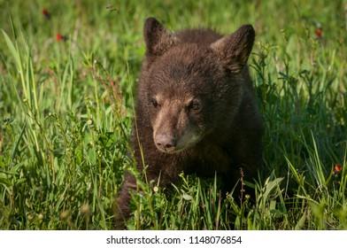 Black Bear Cub (Ursus americanus) Steps Forward - captive animal
