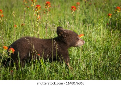 Black Bear Cub (Ursus americanus) Heads Right - captive animal