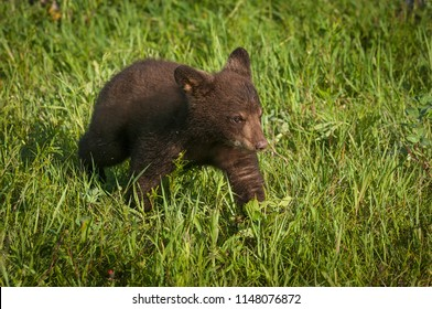 Black Bear Cub (Ursus americanus) Walks Right Through Grass - captive animal