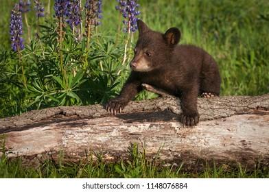 Black Bear Cub (Ursus americanus) Climbs Over Log - captive animal