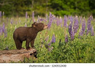 Black Bear Cub (Ursus americanus) Sniffs at Lupin - captive animal