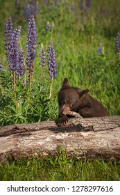 Black Bear Cub (Ursus americanus) Gnaws on Log - captive animal