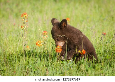 Black Bear Cub (Ursus americanus) Sniffs Prairie Fire Flower Summer - captive animal