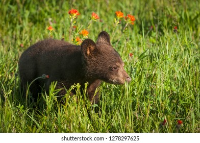 Black Bear Cub (Ursus americanus) Moves Right in Grass Summer - captive animal