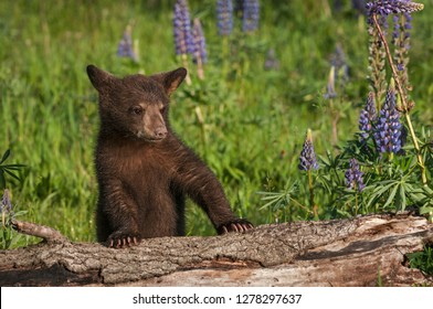 Black Bear Cub (Ursus americanus) Paws Up on Log Summer - captive animal
