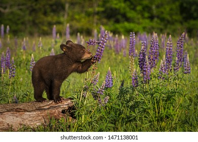 Black Bear Cub (Ursus americanus) Paws at Lupine Summer - captive animal