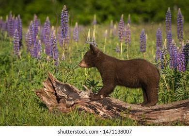 Black Bear Cub (Ursus americanus) Stands on Log Lupine in Background Summer - captive animal