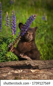 Black Bar Cub (Ursus americanus) Puls auf dem Stalk des Lupine Summer - in Gefangenschaft gehaltenes Tier