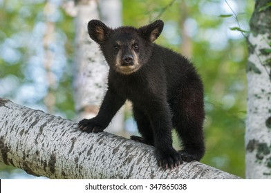 Black Bear Cub (Ursus americanus) Looks Out from Branch - captive animal