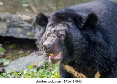 Black bear, cute black bear.