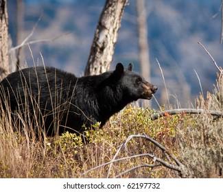 Black Bear during the fall season