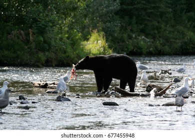 Black bear eating Salmon in Alaska