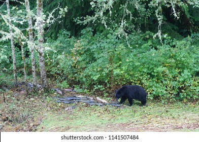Black bear eating salmon on the banks of a river near a fish hatchery in Ucluelet, British Columbia, Canada