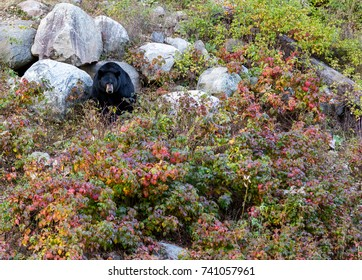 Black bear exiting its mountain den surrounded by fall colors in north Quebec Canda.