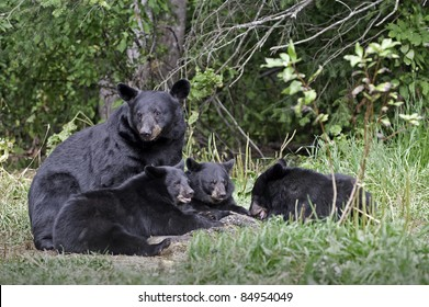 Black Bear Family Portrait.  Female black bear (Ursus Americanus) and three cubs eating in the meadow.