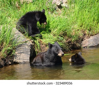 black bear family swimming  in the south platte river on a summer day in waterton canyon, littleton,  colorado