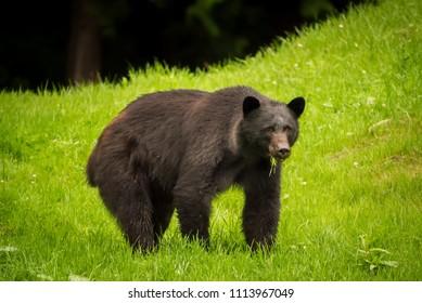 Black bear feeding on fresh green grass on Vancouver Island, British Columbia, Canada