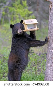 Black Bear, female standing upright checking out Bird feeder for sunflower seeds.