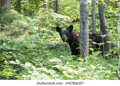 Black bear in a forest, Kenora, Lake of The Woods, Ontario, Canada - Shutterstock ID 1967806207