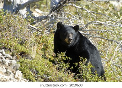 Black bear at Glacier National Park.