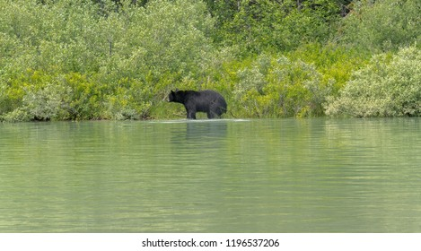 Black bear going into the Blue River, swimming in Banff National Park, Canada