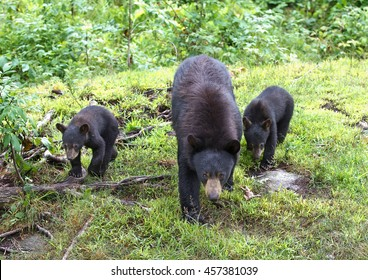 Black bear with her cubs walking through the woods in Canada