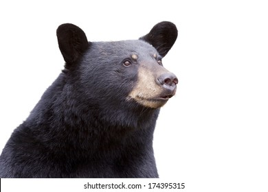 Black bear isolated on white background
