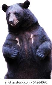 black bear isolated on white