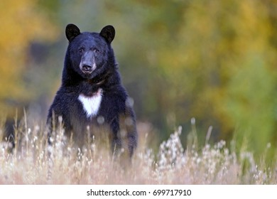 Black Bear, large female,  standing upright in meadow, watching, alert