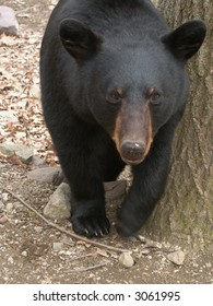 Black Bear Leaning Against a Tree in the Woods