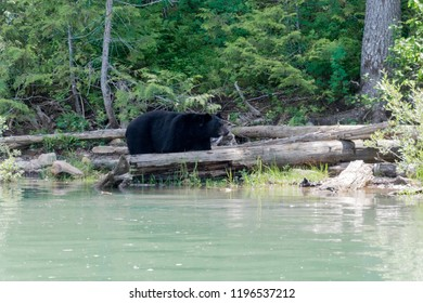 A black bear looking for food at the Blue River, Alberta, Canada