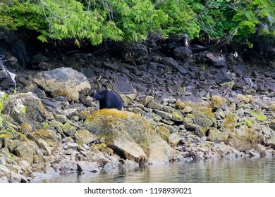 Black bear looking for food during low tide near Tofino on Vancouver Island, British Columbia, Canada
