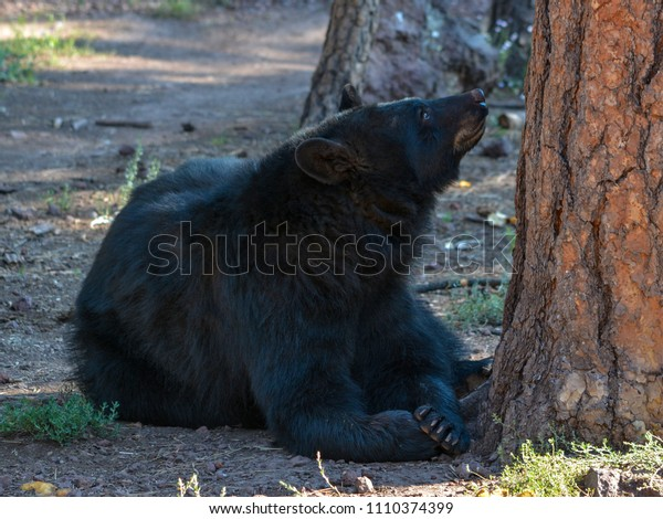 Black Bear Looking up a Tree