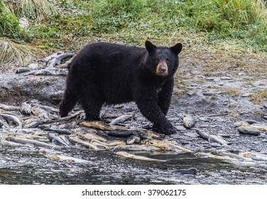 A black bear looks up briefly from a meal of salmon