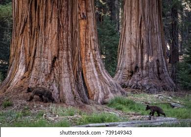 Black bear mother with bear cub