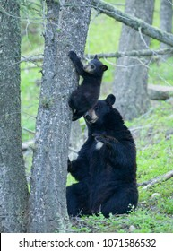 Black Bear mother and cub in Yellowstone National Park.  These are wild, free bears, not bears raised in a captive environment.
