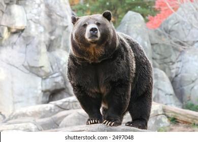 Black Bear in NC Zoo