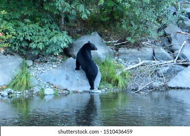 Black Bear on the Rivers Edge Fishing for Salmon During Spawning Season Campbell River  British Columbia Canada