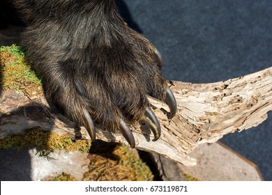 Black Bear Paw With sharp Claws in view