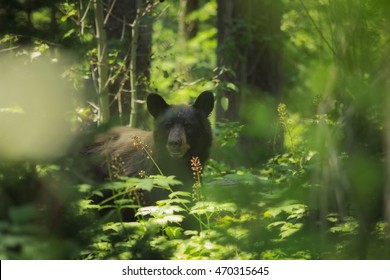 A black bear peers through the woods in Grand Teton National Park, Wyoming.