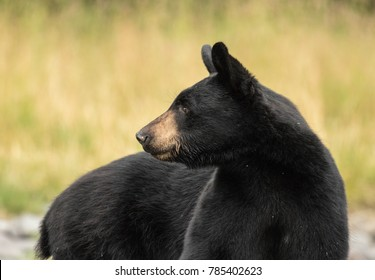 Black bear profile looking sideways